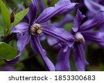 Purple Clematis In Summer...