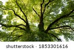 Large Ash Tree Photographed...