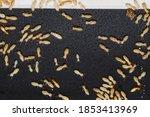 Close Up Termites Or Termites...