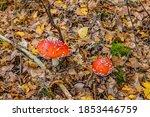 Two Red Mushrooms Amanita...