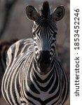 Southern African Plains Zebra...