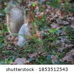 Fluffy Gray Squirrel With A...