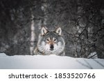 Picture With Wolf In Snowy...