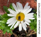 A Daisy With Flies And Earwigs...