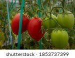 Big Red And Green Tomatoes...