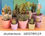 Colourful Pots Of Cacti And...