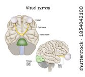 visual system. brain with optic ... | Shutterstock .eps vector #1854042100