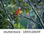 Flame Colored Tanager   ...