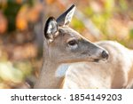 A slender wild female deer or doe stands in the woods with a white spot under its chin, long pointy ears, long mane, pointy nose and light tan fur. The animal is surrounded by bright autumn foliage.  - stock photo