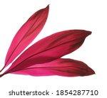 Ti Plant Or Cordyline Fruticosa ...