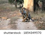 Bengal Tiger  Panthera Tigris...