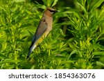 A Cedar Waxwing Is Perched On A ...