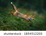 Fox Jump. Orange Fur Coat...