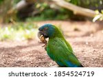 Blue Headed Macaw With Green...