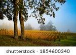Two oak trees and a vineyard on a foggy morning near Salem, Oregon