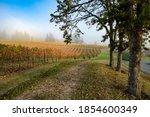 Three oak trees and a vineyard on a foggy morning near Salem, Oregon
