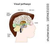 visual pathways from eyeball to ... | Shutterstock .eps vector #1854631033