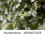 Beautiful Soft White Daisies In ...