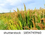 Mature Rice In Rice Field   The ...