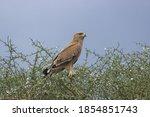 Predator Bird Looking For A...