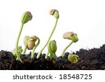 Bean Seeds Germination Isolated ...