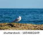 A Seagull On A Rock In The...