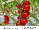 A Bunch Of Red Tomato In A...