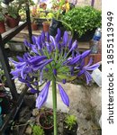Picture Of Agapanthus Which Is...