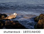 Seagull Sits On A Stone Covered ...