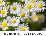 macro shoot of eastern daisy... | Shutterstock . vector #1855177060