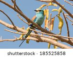 Small photo of An Abyssinian Roller (Coracias abyssiniica) perched in a tree