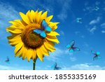 Blooming Sunflowers On A...