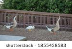 Two Adult Chinese Brown Geese...