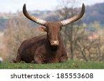 Ankole Cattle Lying Down