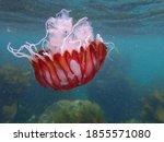 Compass Jellyfish Drifting...
