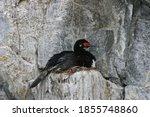 A Nesting Rock Shag ...