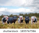 Lots Of Cute Piglets On The...