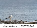 A Single Seagull With White An...