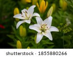 Two white lilies macro photography in summer day. Beauty garden lily with white petals close up garden photography. Lilium plant floral wallpaper on a green background.
