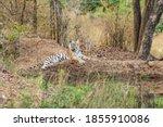 Wild Tigress Resting In Natura...