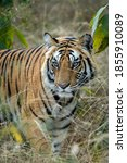 Wild Male Tiger Head On At...