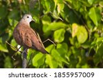 A Ruddy Ground Dove  Columbina...