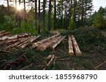 Felled Spruces Trees In Forest. ...