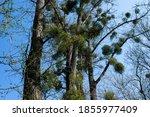 Mistletoe Branches Grow On...