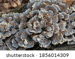 Gray And Brown Turkey Tail...