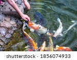 Feeding Koi Carp   Cyprinus...
