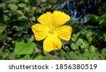 Wax Gourd Flower. Yellow Flower ...