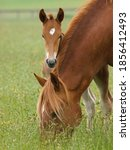 A Suffolk Punch Foal Peeps Out...