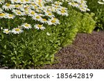 daisies. a bunch of daisies on... | Shutterstock . vector #185642819