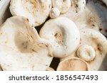 White Lactarius Resimus...